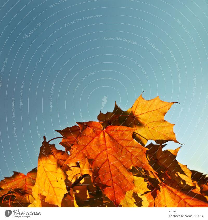 Lose Blattsammlung Umwelt Natur Pflanze Himmel Wolkenloser Himmel Herbst Sammlung alt fallen ästhetisch schön trocken mehrfarbig Herbstlaub herbstlich Färbung