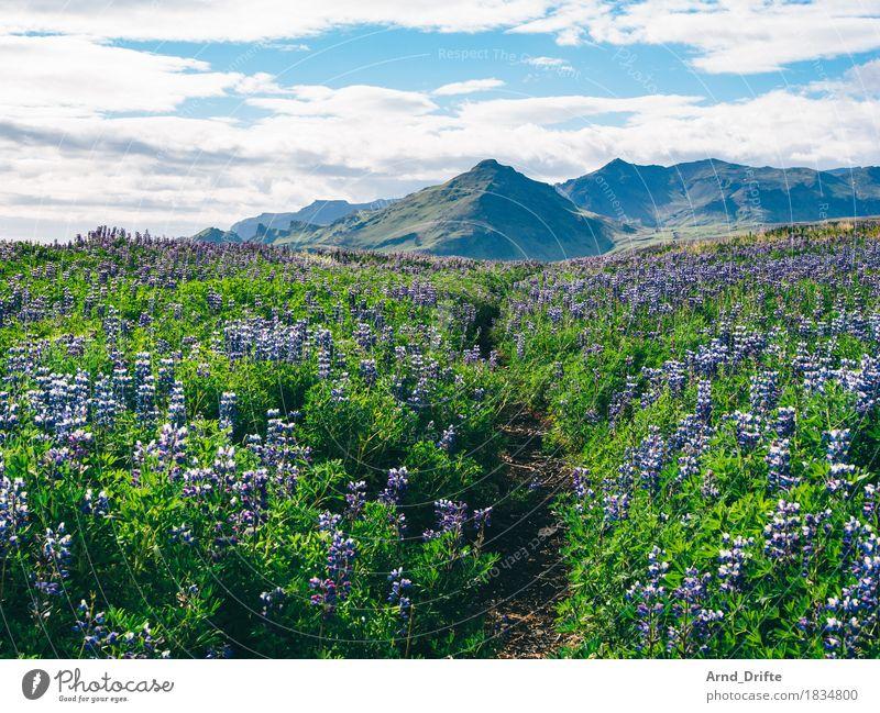 Island - Lupinen Ferien & Urlaub & Reisen Tourismus Ausflug Abenteuer Ferne Sommer Insel Natur Landschaft Pflanze Erde Himmel Wolken Schönes Wetter Sträucher
