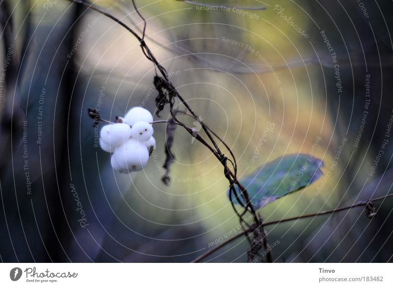 Little Ghost Farbfoto Gedeckte Farben Außenaufnahme Menschenleer Tag Natur Pflanze Herbst Sträucher Wildpflanze weiß Schneebeeren Knallerbsenstrauch Beeren
