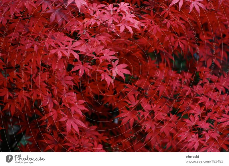 Roter Oktober Farbfoto Außenaufnahme Luftaufnahme Muster Tag Vogelperspektive Umwelt Natur Pflanze Herbst Baum Blatt rot Röte