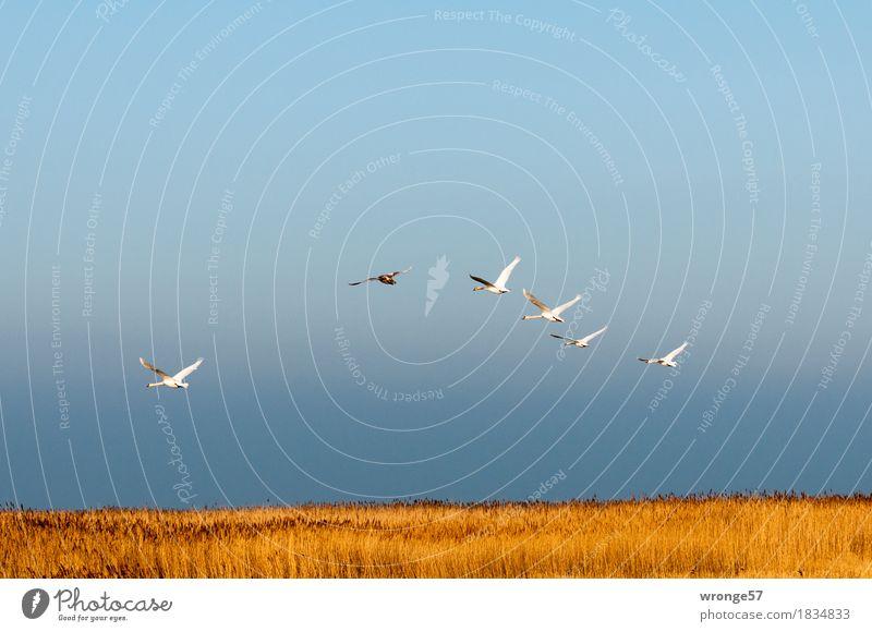 Wellenflug Natur Himmel Horizont Riedgras Schilfrohr Küste Ostsee Vorpommersche Boddenlandschaft Tier Wildtier Vogel Schwan Tiergruppe Schwarm fliegen