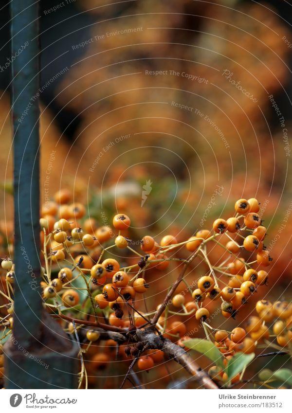 Beeren des Feuerdorns im Herbst an Metalltor Natur Pflanze Sträucher Garten Park alt festhalten hängen dehydrieren ästhetisch klein natürlich trocken Wärme wild