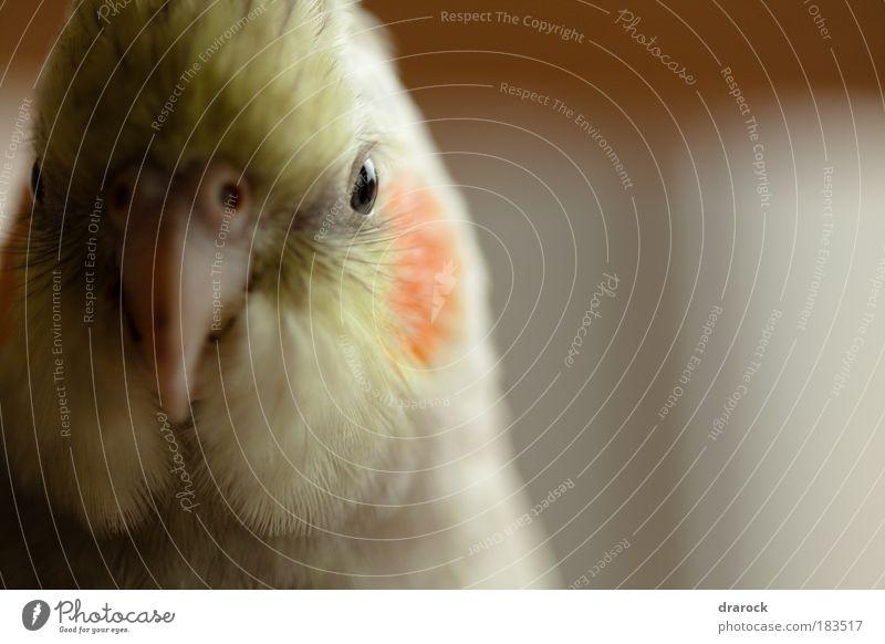 Look at me Tier Haustier Vogel 1 Coolness gelb gold grau rot Kraft Wahrheit Ehrlichkeit authentisch Nymphensittich Feder Kramer Sittich Nahaufnahme