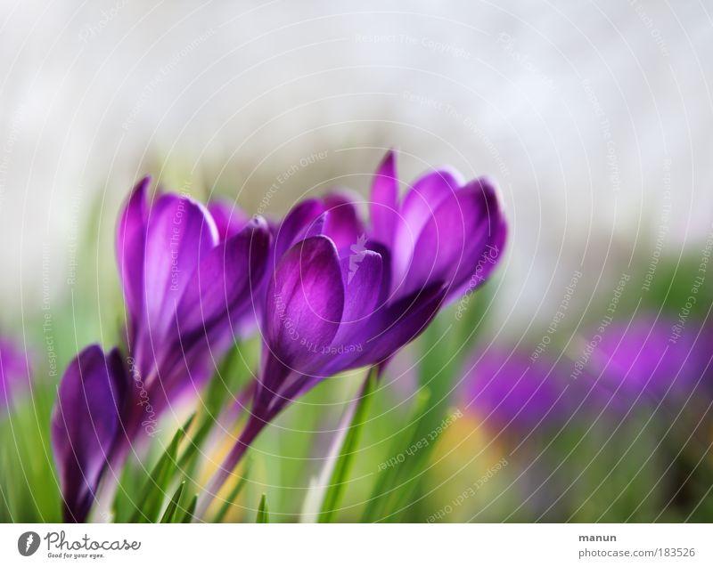 Hoffnungsschimmer Natur Erholung Blume Frühling natürlich Stil Park leuchten Design elegant frisch ästhetisch Blühend Schönes Wetter Freundlichkeit violett