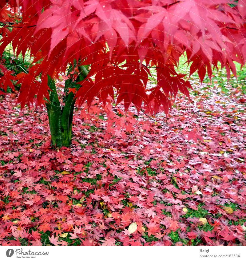 Ahornbaum mit roten Herbstblättern im Garten Farbfoto mehrfarbig Außenaufnahme Menschenleer Tag Umwelt Natur Pflanze Schönes Wetter Baum Gras Ahornblatt Blatt