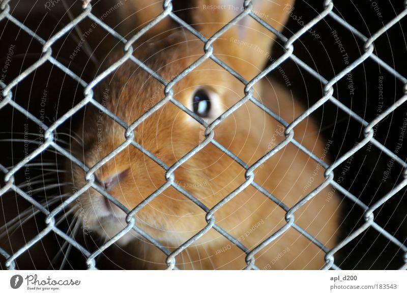 Hinter Gittern Tier schwarz Wärme Gefühle gold authentisch niedlich weich Haustier Hase & Kaninchen Geborgenheit Gitter Nutztier Stall Osterhase Gitternetz