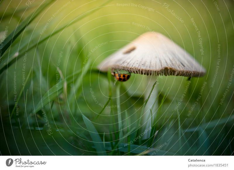 An der Unterkante Natur Pflanze Sommer grün Tier gelb Wiese Bewegung Gras braun orange ästhetisch niedlich hängen Pilz Käfer