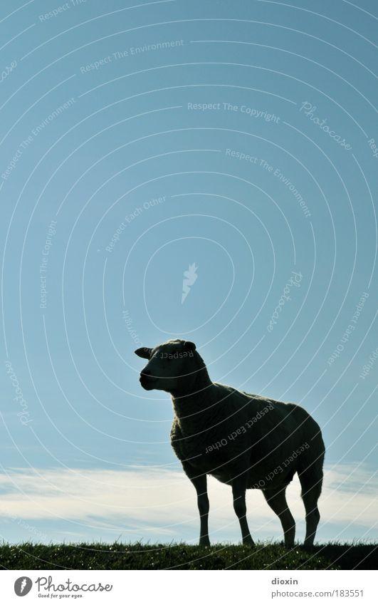 Das Genever-Schaf Himmel Natur Wolken Tier Wiese Küste Stil Kraft warten ästhetisch stehen Bauernhof Schaf Mut Haustier Säugetier