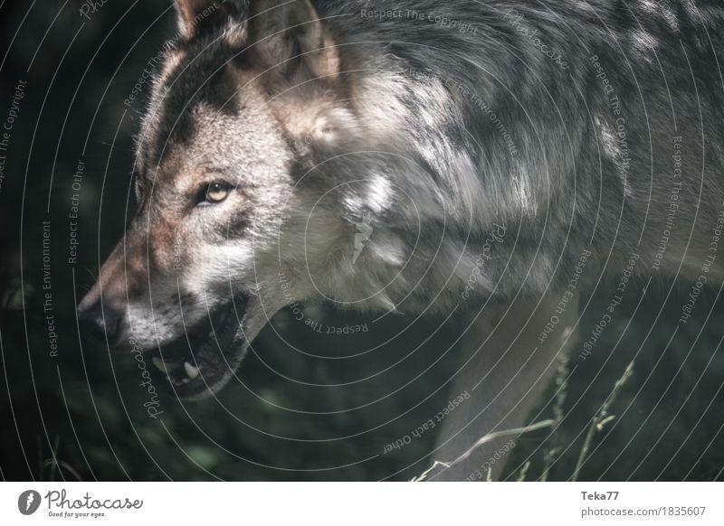 Wolf Stil Zoo Natur Tier Wildtier Tiergesicht 1 Abenteuer Aggression Angst ästhetisch Farbfoto Menschenleer Tag Blick nach vorn