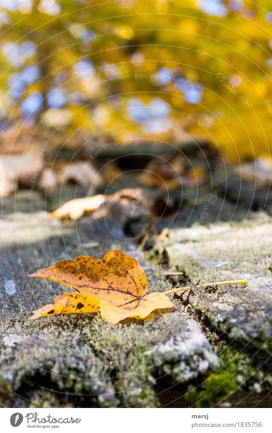 Die anderen sind jetzt auch schon unten Natur Herbst Blatt Ahornblatt einfach gold Traurigkeit Ende Tod Vergänglichkeit Verfall herbstlich Herbstfärbung