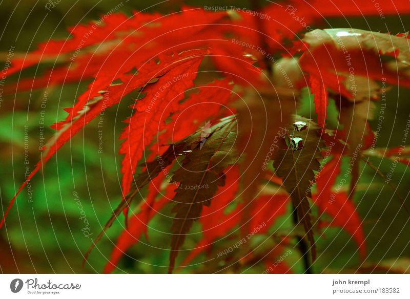 merde alors, 'erbst! Außenaufnahme Schwache Tiefenschärfe Umwelt Natur Pflanze Sträucher Blatt Grünpflanze Park Wiese Feld grün rot Hoffnung Traurigkeit
