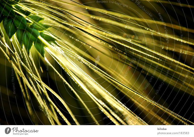 Bauerngold 2 Natur grün Pflanze Sonne gelb Umwelt Gefühle braun Hintergrundbild Feld Kraft gold Lebensmittel Erfolg abstrakt Ernährung