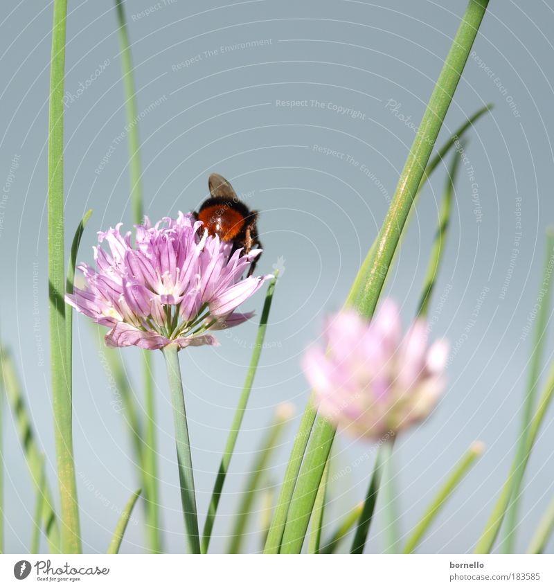Sommertag 2 Natur grün Pflanze ruhig Tier Ferne träumen rosa ästhetisch violett Unendlichkeit Biene Duft Kräuter & Gewürze Schönes Wetter