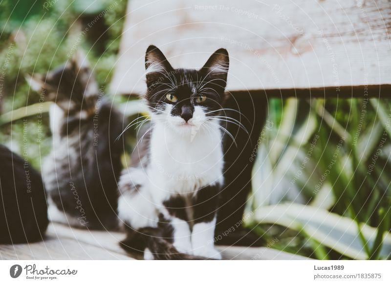 Angry Cat Zypern Tier Haustier Wildtier Katze 1 2 3 Tiergruppe Tierpaar Tierfamilie beobachten Blick Aggression außergewöhnlich bedrohlich frech listig wild