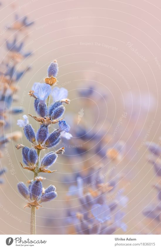 Lavendel Natur Pflanze blau Erholung Blüte Innenarchitektur Gesundheit Stil Garten Design Park Dekoration & Verzierung elegant violett Wellness Wohlgefühl