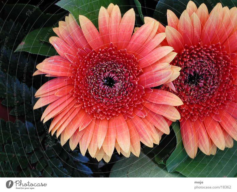 gerbera Natur Blume Blumenstrauß Gerbera