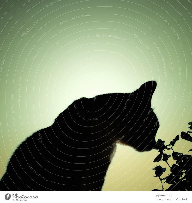 Schattenkatze Katze Blume Gegenlicht schwarz Silhouette Ohr Tier Fell Geruch Natur Blüte Nase Schnauze Strukturen & Formen