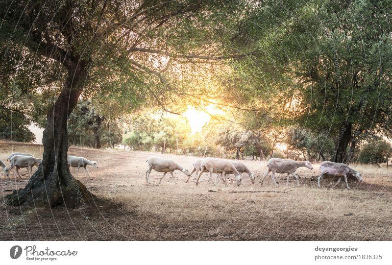 Schafherde bei Sonnenuntergang schön Sommer Berge u. Gebirge Natur Landschaft Tier Himmel Herbst Baum Gras Wiese Wald Hügel Herde Fressen Schwarm Ackerbau Feld