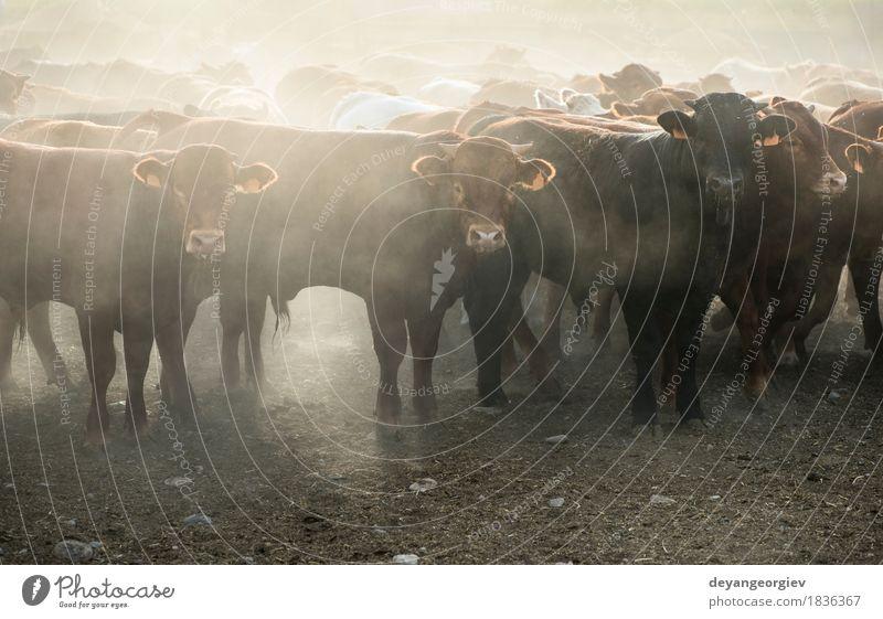Kälber im Bauernhof für Kalbfleisch Natur Sommer grün Tier Wiese Gras Weide Ackerbau Kuh Säugetier Fleisch Fressen ländlich Großgrundbesitz Rind