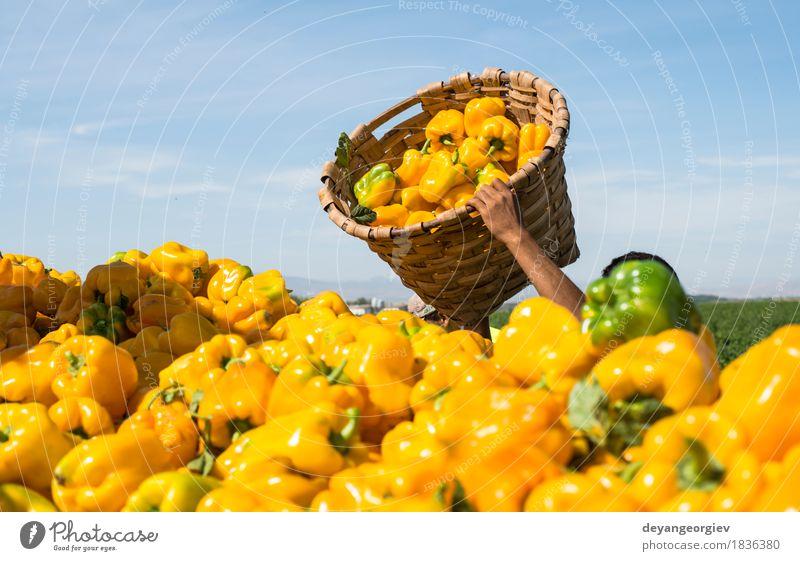 Menschen pflücken Paprika Gemüse Garten Arbeit & Erwerbstätigkeit Gartenarbeit Mann Erwachsene Hand Natur Pflanze Blatt frisch gelb grün Landwirt Feld Ackerbau
