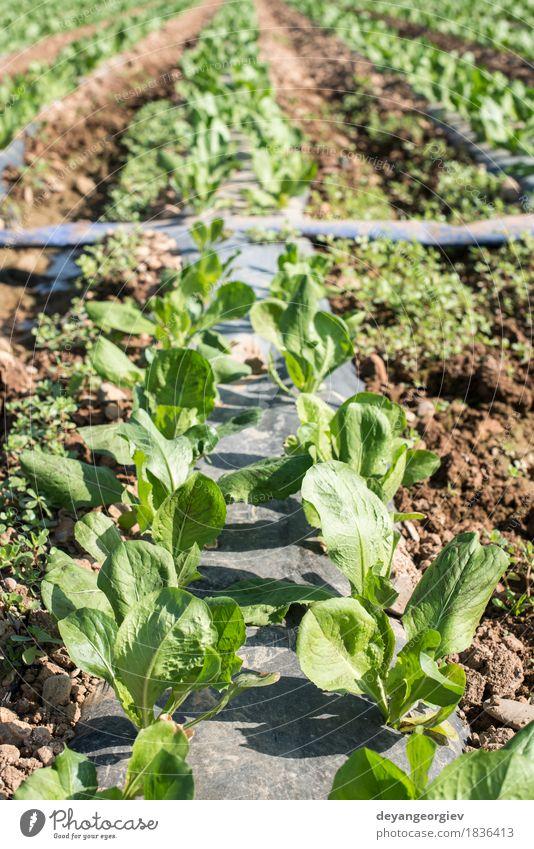 Salatfeld in Reihen. Gemüse Vegetarische Ernährung Sommer Natur Landschaft Pflanze Erde Blatt Wachstum frisch grün Feld Bauernhof Ackerbau produzieren