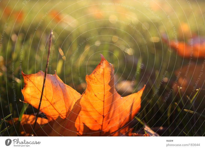 Herbstsonne Umwelt Natur Landschaft Pflanze Himmel Blatt alt liegen ästhetisch gold Gefühle Zeit Herbstlaub herbstlich Jahreszeiten Färbung Wiese Herbstbeginn