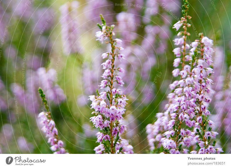 Violet schön Zufriedenheit ruhig Gartenarbeit Umwelt Natur Pflanze Herbst Blume Sträucher Park Wiese Blühend Wachstum grün violett rosa Stimmung