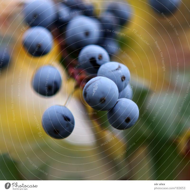 Blaue Beeren der Mahonie blau grün Pflanze gelb Herbst Gesundheit Frucht Wachstum Sträucher Blühend Zusammenhalt Beeren Vitamin Wildpflanze vitaminreich Giftpflanze