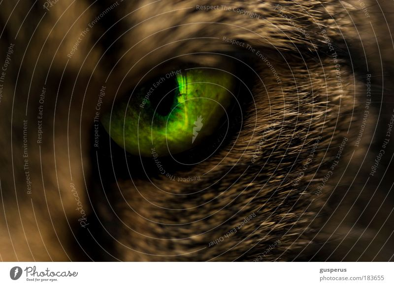 {schlitz} auge Farbfoto Makroaufnahme Textfreiraum unten Kunstlicht Schwache Tiefenschärfe Tierporträt Blick Blick in die Kamera Katze Tiergesicht Fell 1