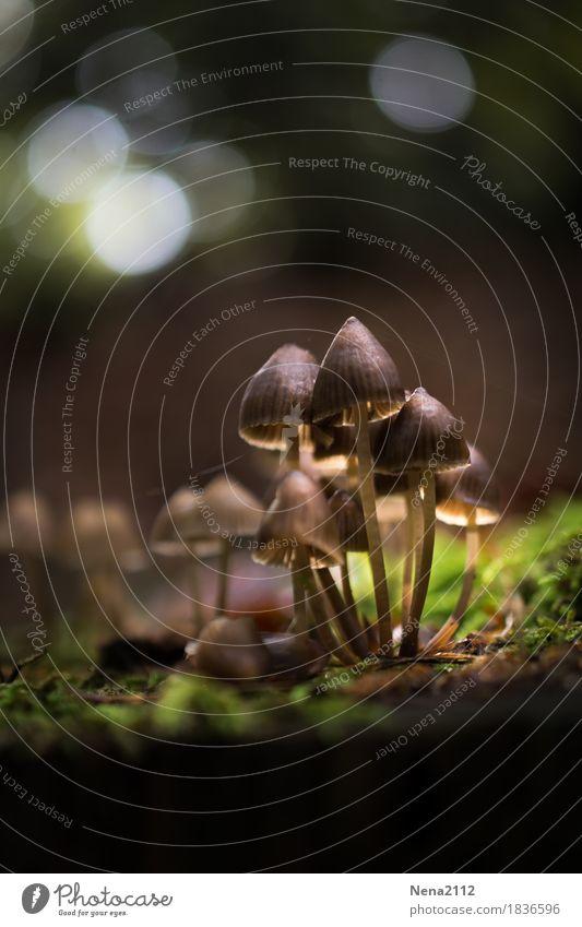 Pilzkolonie Umwelt Natur Erde Herbst Wetter Schönes Wetter Pflanze Moos Garten Park Wald Urwald Unendlichkeit wild gruppiert Anhäufung Waldboden Spazierweg