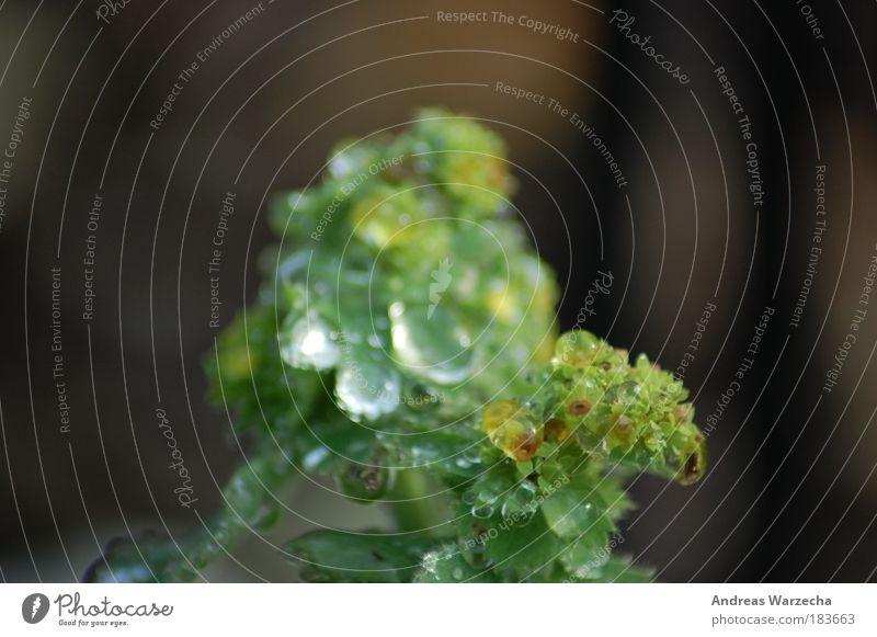 Tau am Morgen Umwelt Natur Wassertropfen Klima Schönes Wetter Regen Pflanze Blatt Blüte Grünpflanze einfach frisch kalt nah nass natürlich wild grün schön ruhig