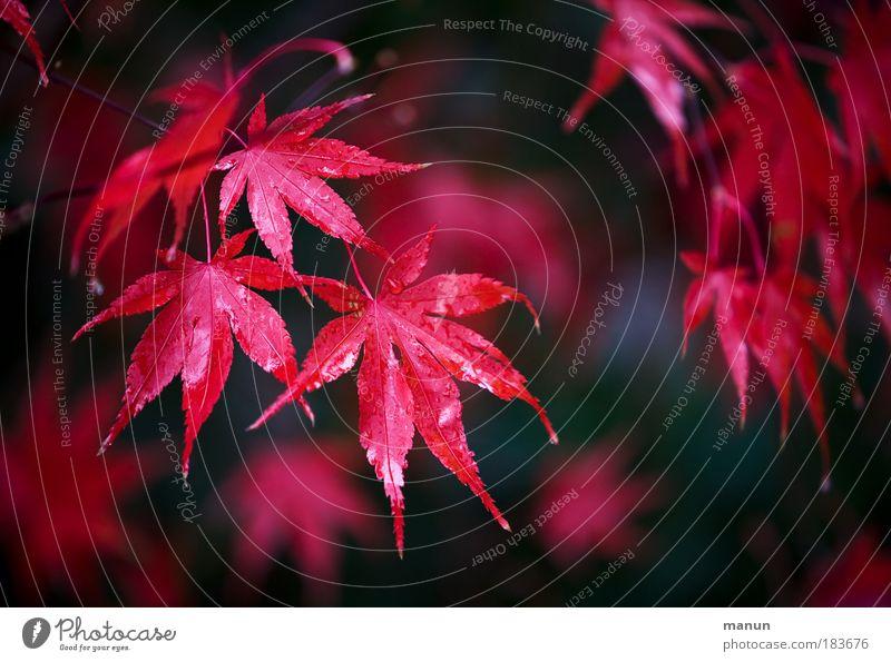 Novemberleuchten Natur schön Baum Pflanze rot ruhig Blatt Leben Erholung Herbst Außenaufnahme Farbfoto Licht Stil Park