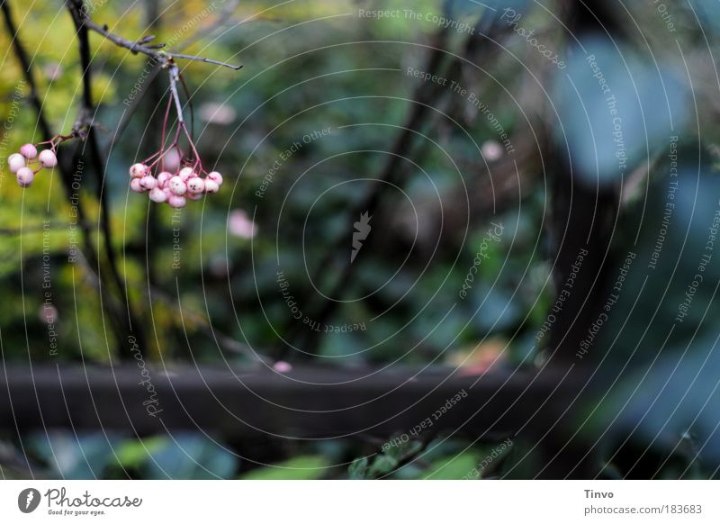 vor dem alten Herrenhaus... Farbfoto Außenaufnahme Tag Schwache Tiefenschärfe Herbst Pflanze Sträucher Wildpflanze hängen dunkel trist wild rosa Heimweh