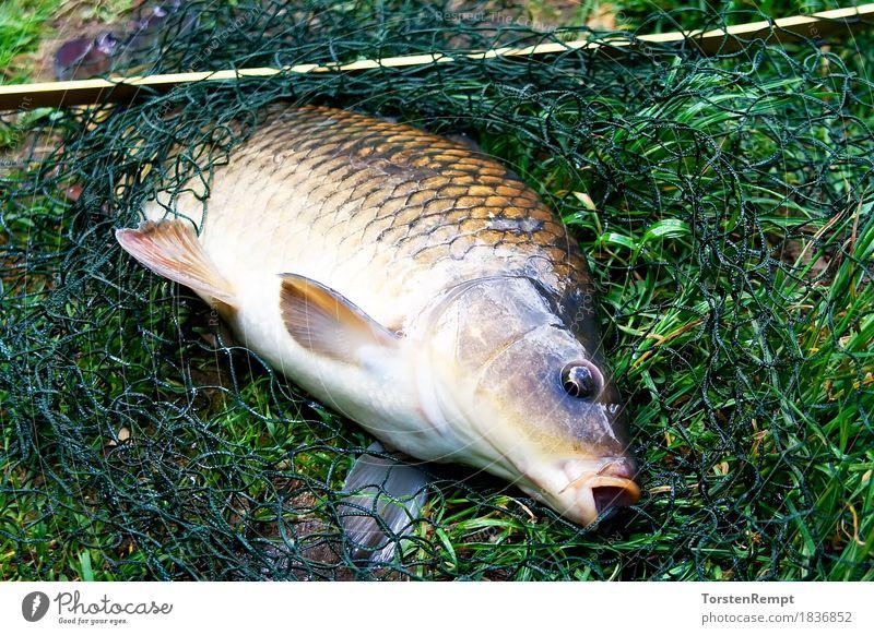 Schuppenkarpfen Wasser Fisch Netz genießen Schwimmen & Baden carpio cyprinidae cypriniformes cyprininae cyprinus Koi fische fischen Fischer geangelt gefangen