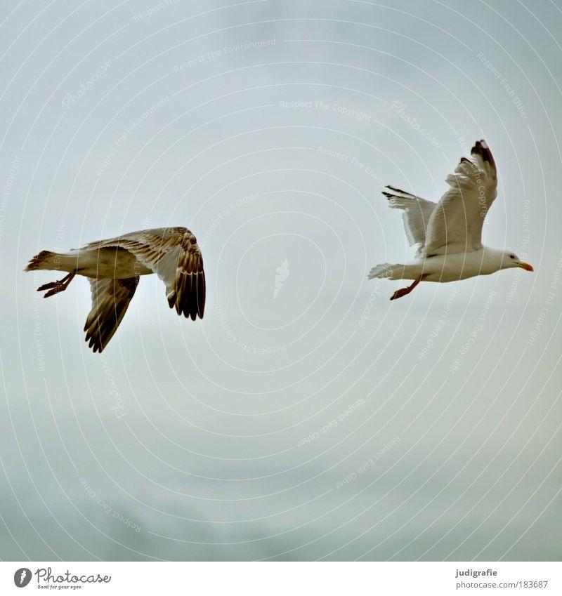 Flügelschlag Farbfoto Außenaufnahme Tag Himmel Küste Ostsee Meer Tier Wildtier Vogel Möwe Silbermöwe 2 fliegen natürlich Freiheit Zufriedenheit flattern