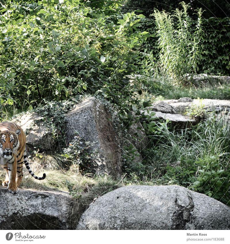 beuteschema Natur ruhig Tier Berge u. Gebirge Katze Angst Felsen Sicherheit ästhetisch Sträucher Tiergesicht bedrohlich wild Fell Neugier Wildtier
