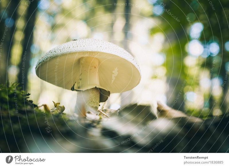 Perlpilz Umwelt Natur Sommer Herbst ästhetisch verrückt amanita Speisepilz Speisepilze Waldpilz Waldpilze ökologisch Bioprodukte Vegane Ernährung essbar
