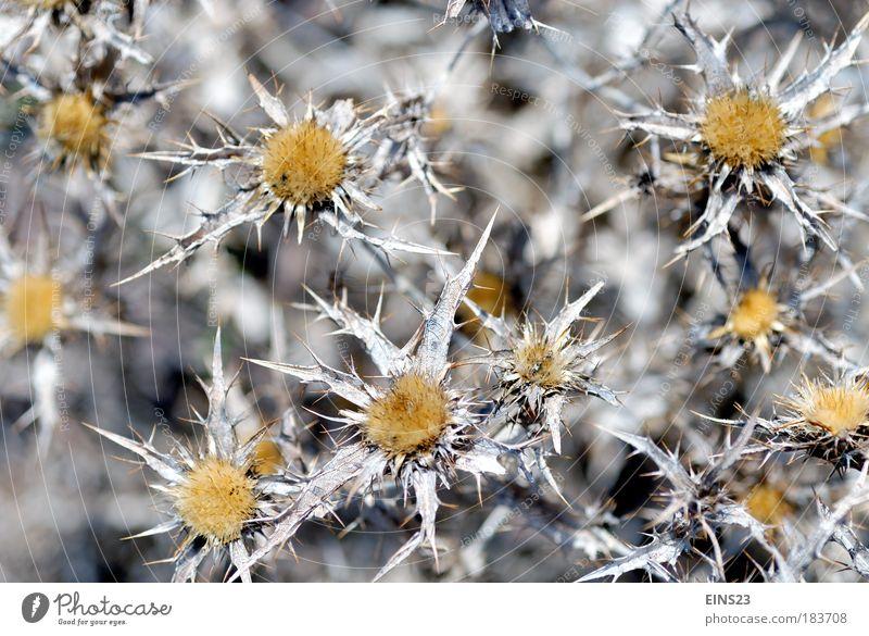 Am Wegesrand Farbfoto Außenaufnahme Menschenleer Tag Unschärfe Totale Umwelt Natur Pflanze Sommer Schönes Wetter Distel Feld Blühend stachelig Wärme wild braun