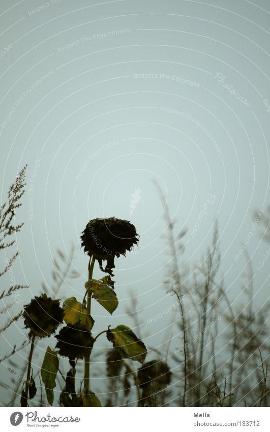 Mutter Courage und ihre Kinder Umwelt Natur Landschaft Pflanze Himmel Herbst schlechtes Wetter Blume Gras Sonnenblume Wiese Feld Traurigkeit verblüht