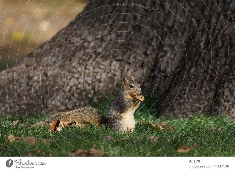 Eichhörnchen in der Morgensonne Natur Sonne Baum Tier Umwelt Essen Leben Herbst Wiese natürlich klein Garten Park frei Wildtier sitzen