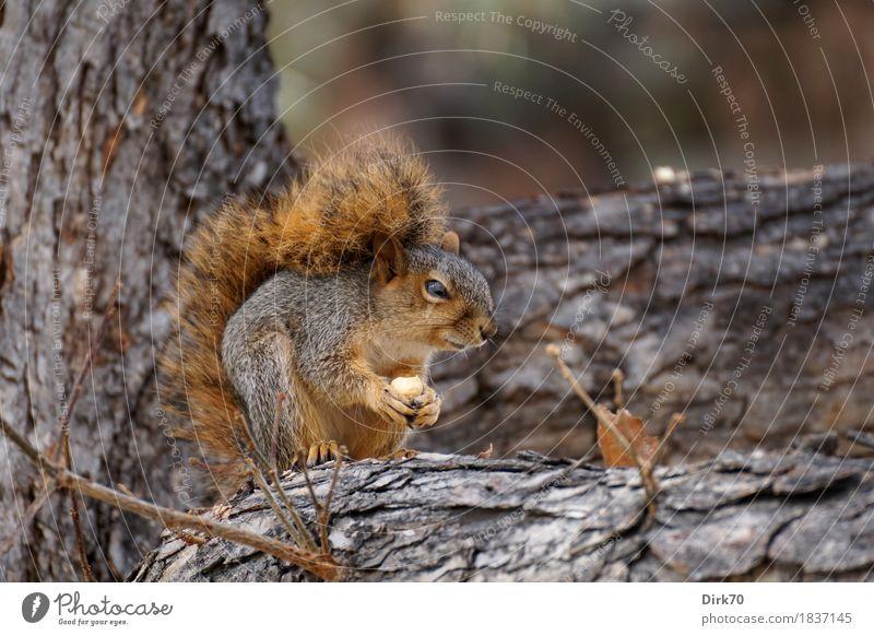 Könnte es mehr als 600 Nüsse geben, irgendwo? Natur Baum Tier Wald Essen Herbst natürlich Garten wild Park Ernährung Wildtier Ast niedlich weich Neugier