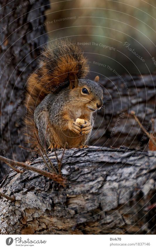 600! Wirklich! Oh, wenn ich so viele Nüsse hätte ... Baum rot Tier Wald Essen klein grau braun Park Ernährung Wildtier sitzen USA Ast beobachten niedlich