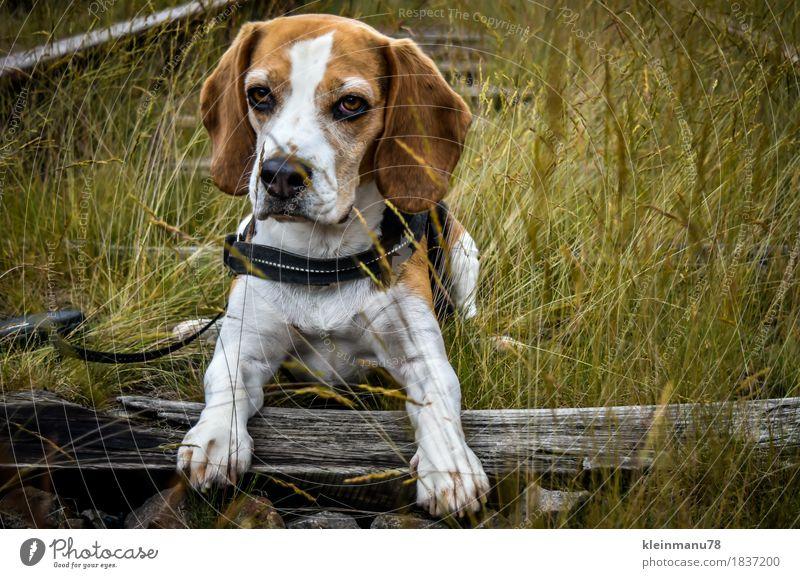 Beagle auf Schienen sportlich Erholung Freizeit & Hobby Jagd Ausflug Freiheit Expedition Sommer wandern lernen Umwelt Natur Erde Sonne Herbst Wetter Pflanze