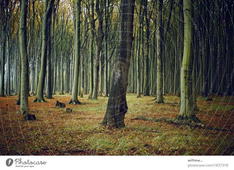 der augenbaum | zwilling Natur Wald herbstlich Laubwald Buchenwald Gespensterwald Nienhagen