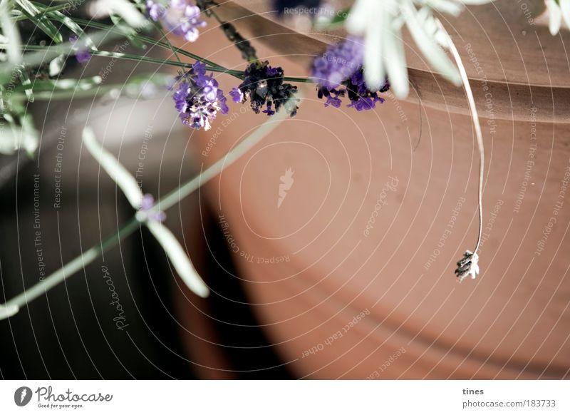 Romantik am Atlantik Natur grün Pflanze Sommer Herbst Blüte Garten Traurigkeit braun Wachstum Ecke violett natürlich Idylle Kräuter & Gewürze