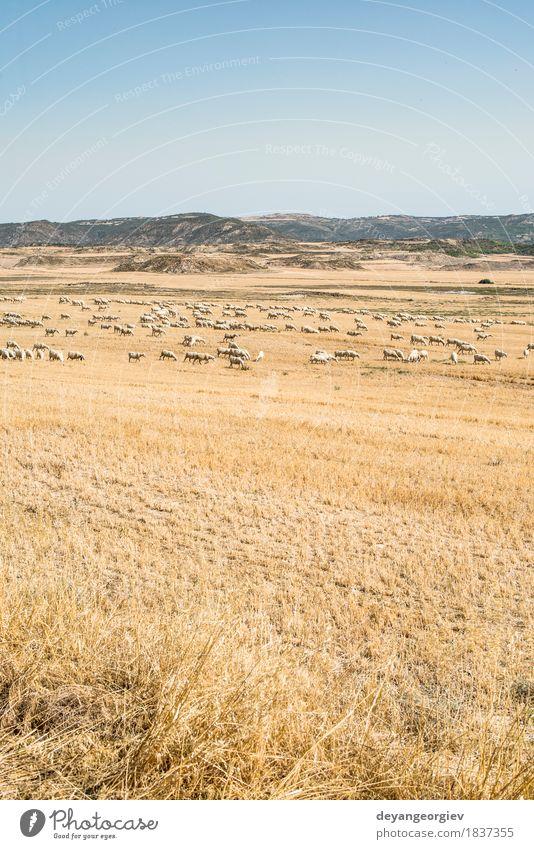Schafe auf der Weide Sommer Schnee Berge u. Gebirge Menschengruppe Natur Landschaft Tier Himmel Gras Wiese natürlich gelb grün weiß Feld trocknen Schwarm