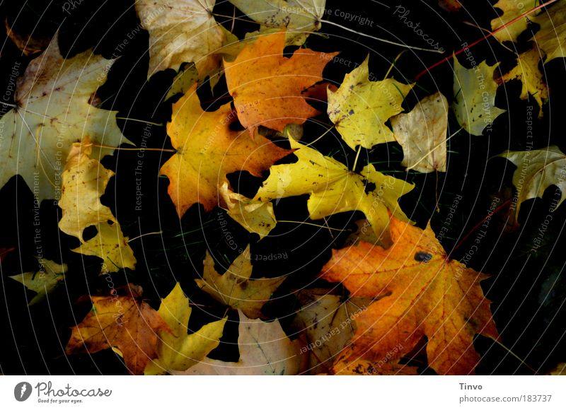 fallen leaves Farbfoto Außenaufnahme Tag Kontrast Low Key Herbst Blatt mehrfarbig einzigartig Vergänglichkeit Wandel & Veränderung herbstlich gefallen liegen