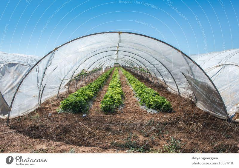 Erdbeeren im grünen Haus. Frucht Garten Natur Pflanze Baum Blatt Wachstum frisch rot Bauernhof Ackerbau Gewächshaus Ernte Bodenbearbeitung Niederländer