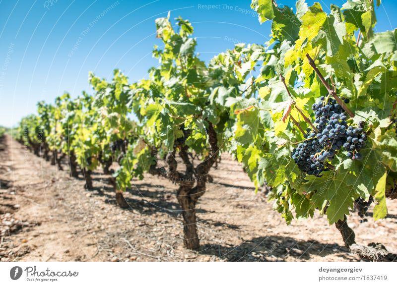 Rotwein Trauben. Frucht Natur Pflanze Herbst Blatt Wachstum frisch blau rot Wein Weintrauben Weinberg Spanien Ackerbau Weingut Lebensmittel Haufen Ernte reif
