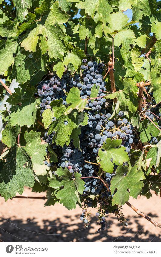 Rotwein Trauben. Natur Pflanze blau rot Blatt Herbst Frucht Wachstum frisch Spanien Ernte ländlich Tal Weinberg Weintrauben purpur
